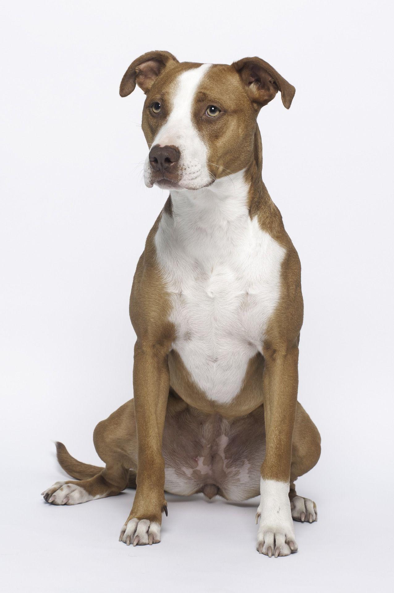 Бесплатно смотреть фото собак питбуль