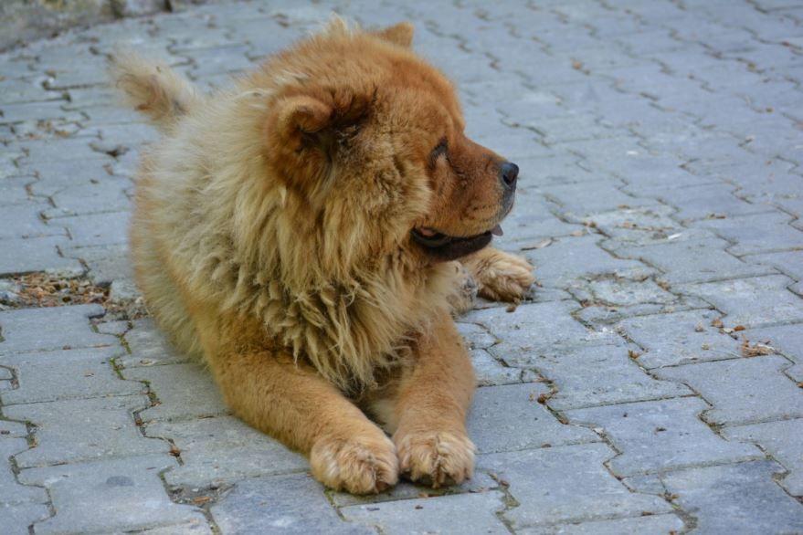 Собаки породы - тибетский мастиф