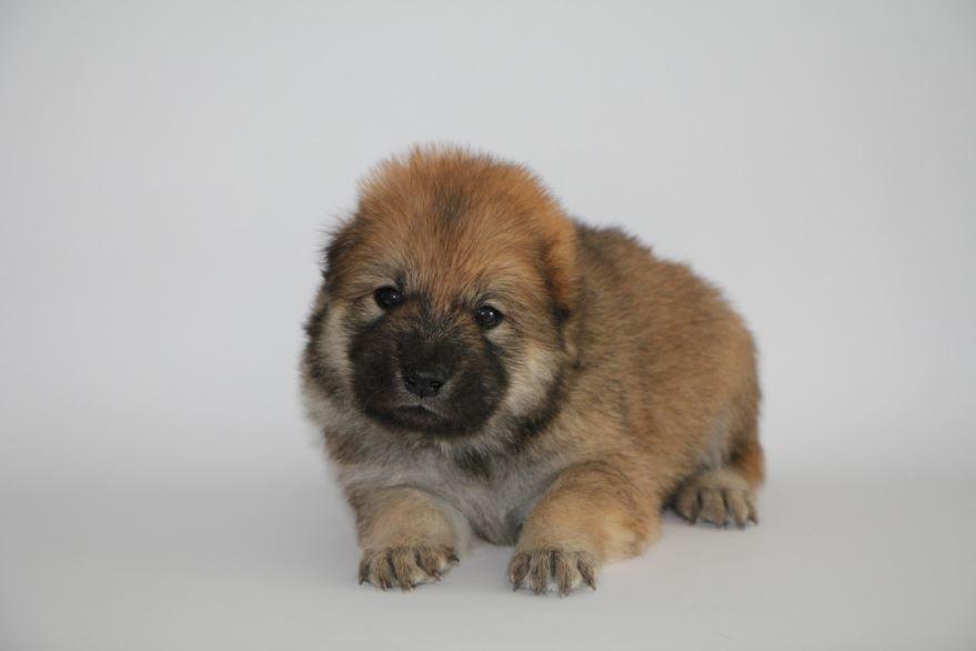 Фото щенка тибетского мастифа