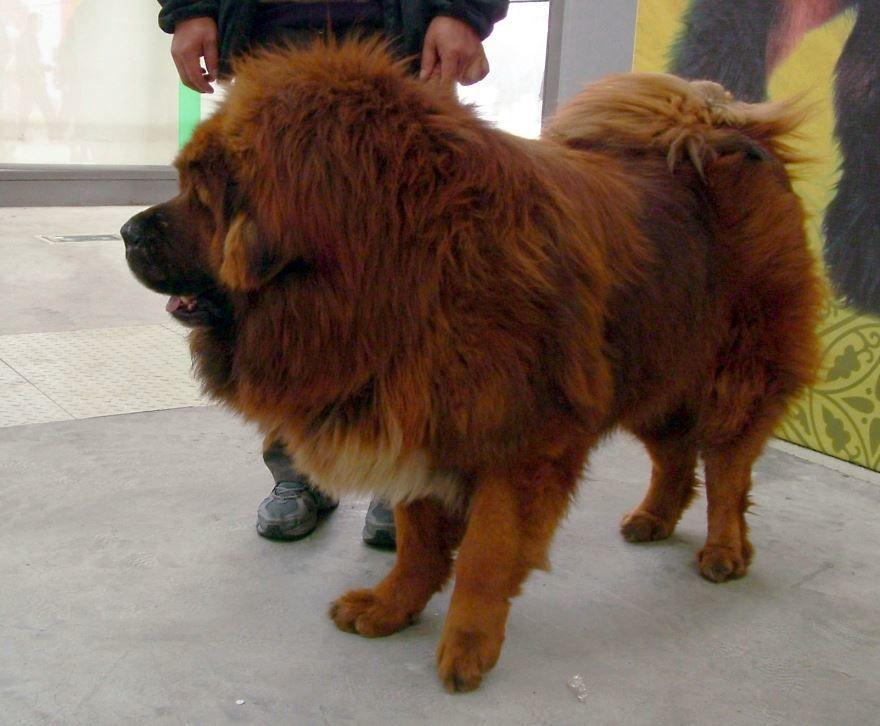 Самая большая собака - тибетский мастиф