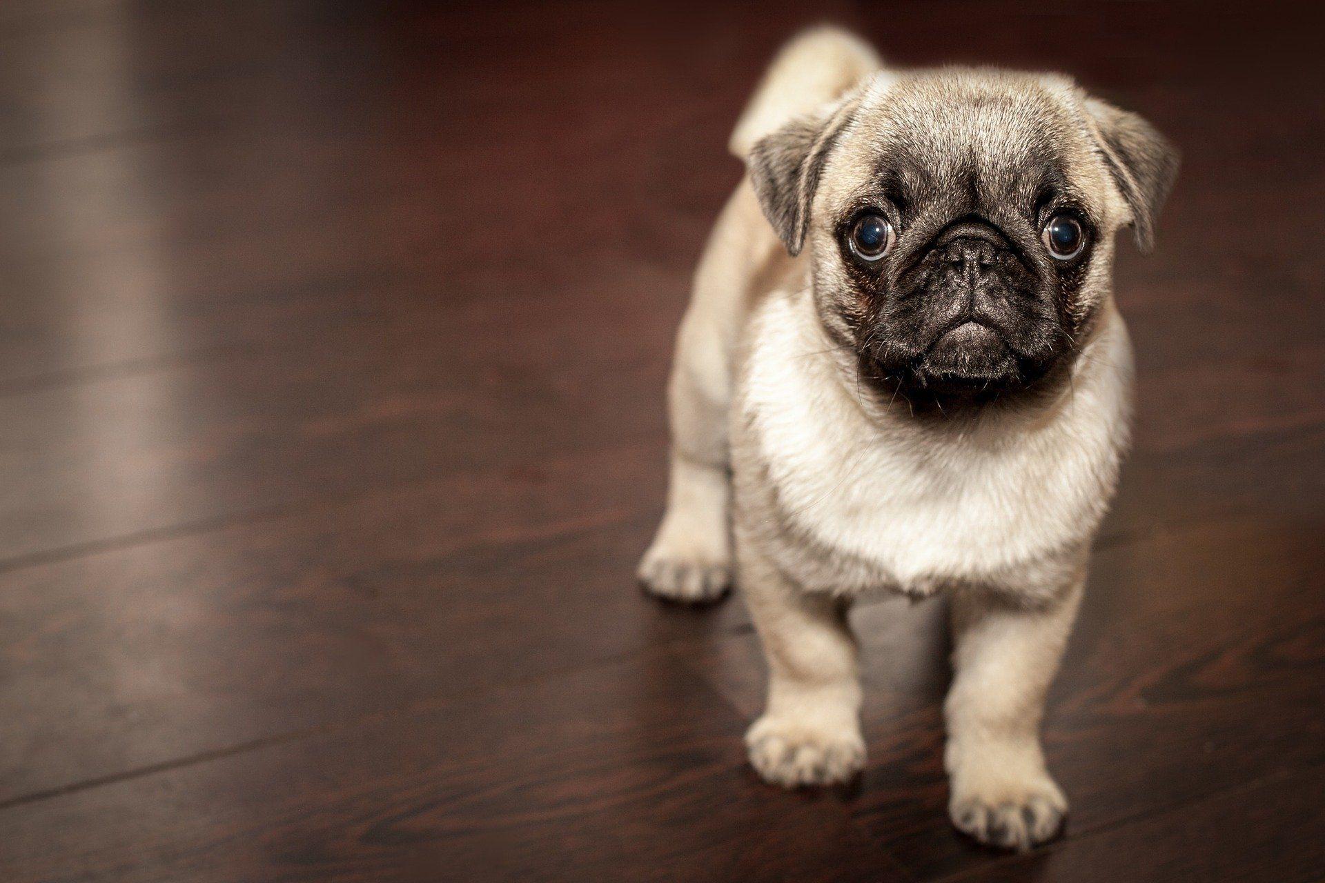 Фото собак породы мопс