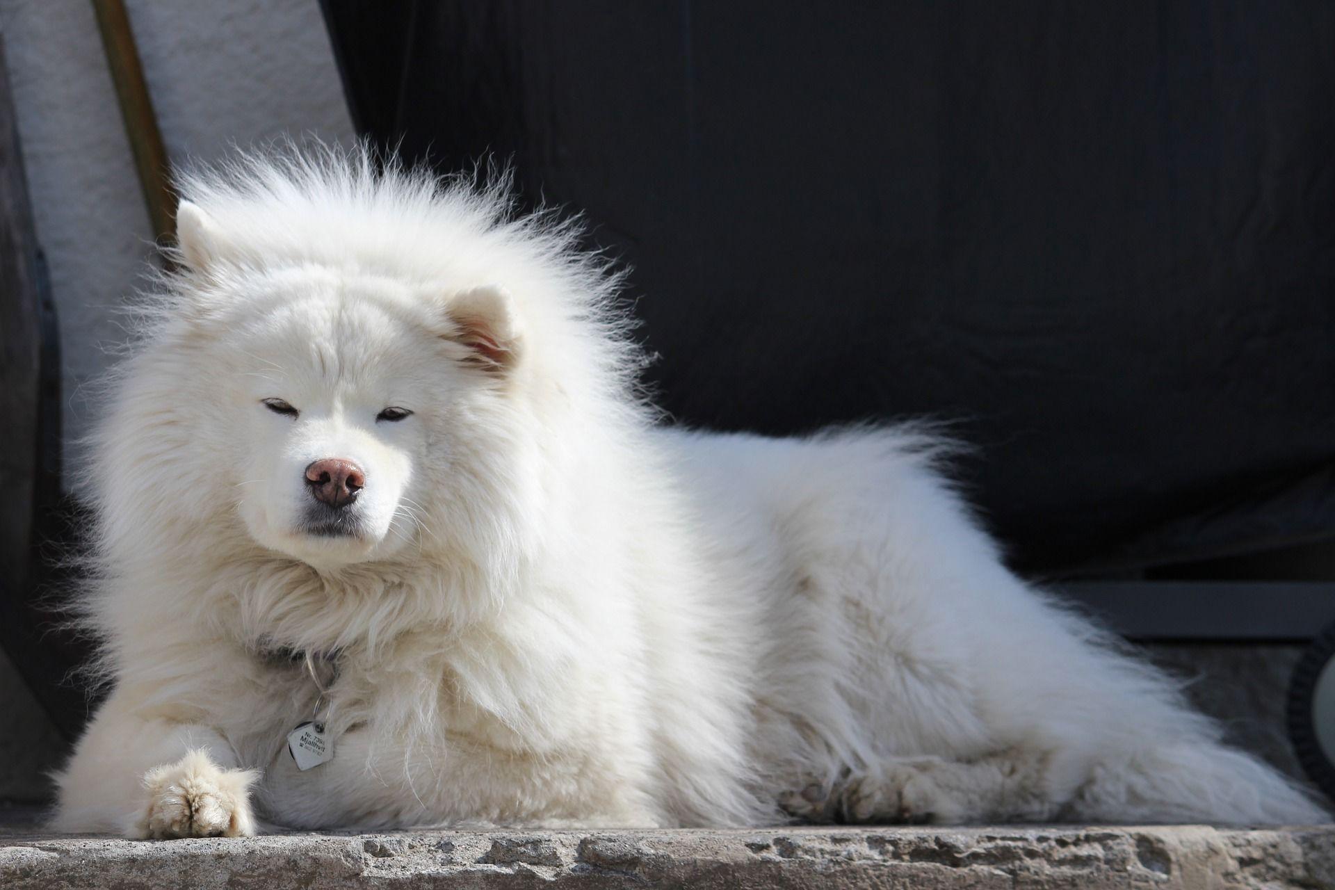 Самая милая порода собак - самоеды