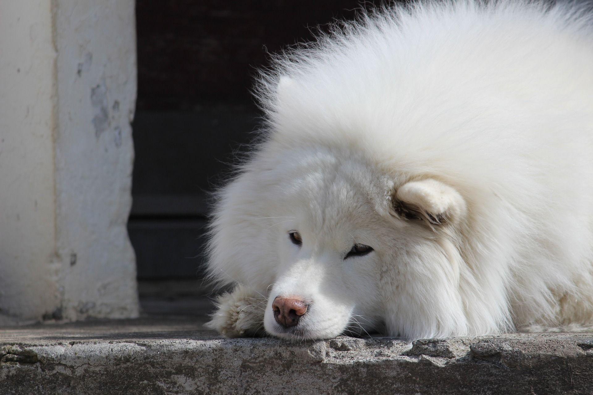 Порода собак - самоедская лайка