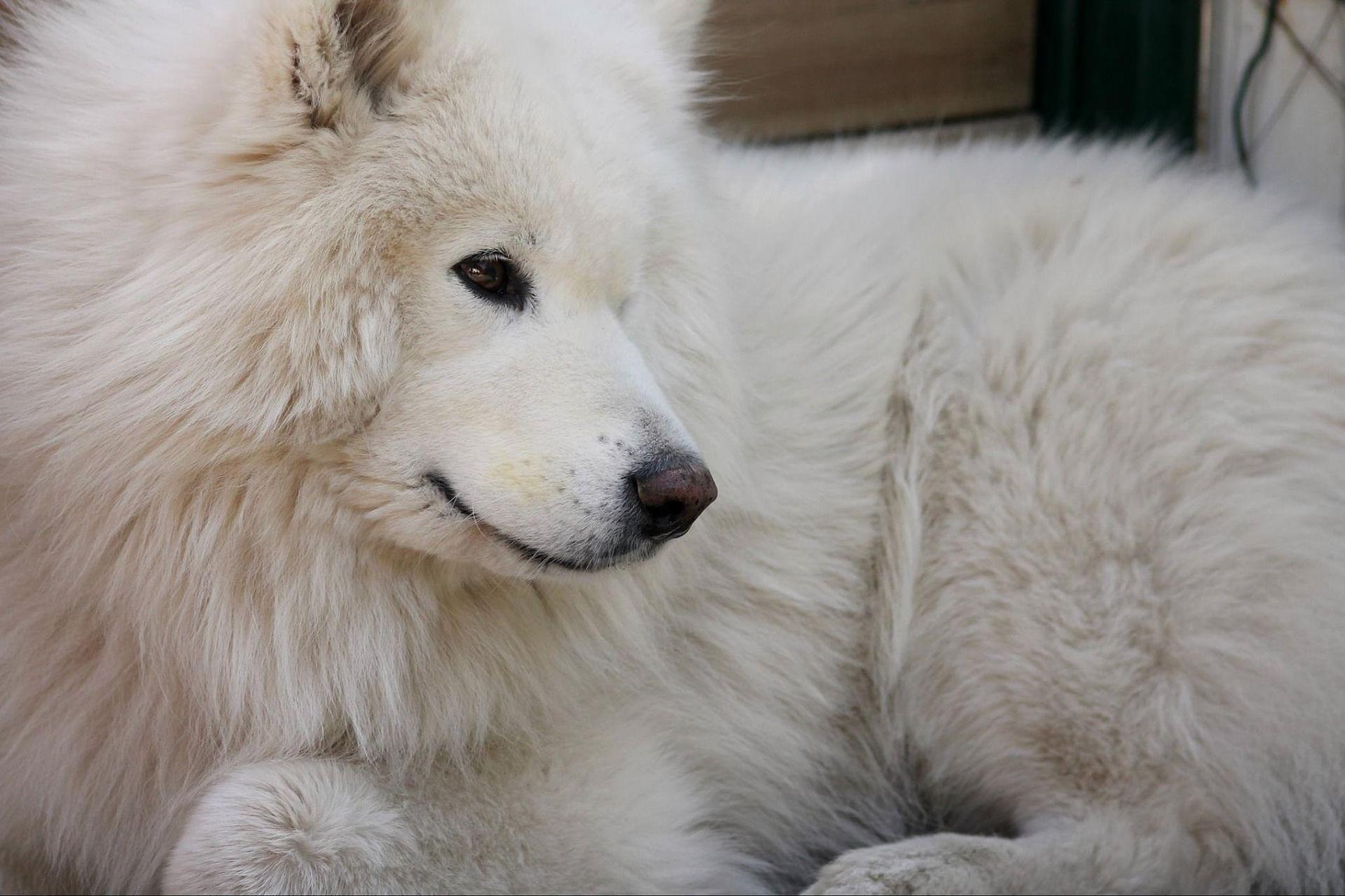 Фото собак - самоедская лайка