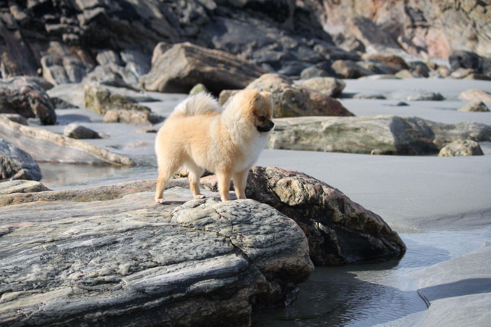 Собаки породы померанский шпиц
