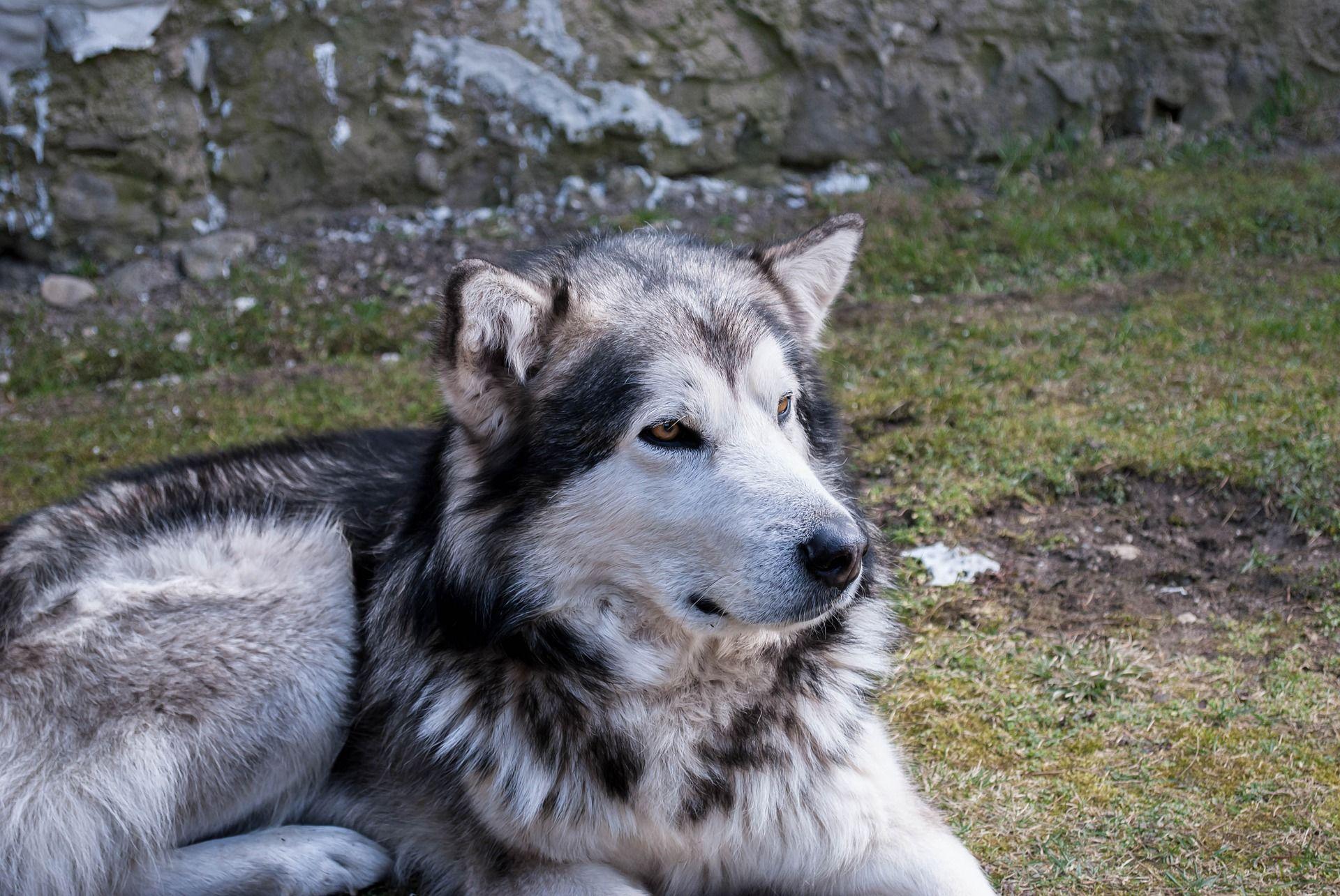 Окрас породы собак - маламута