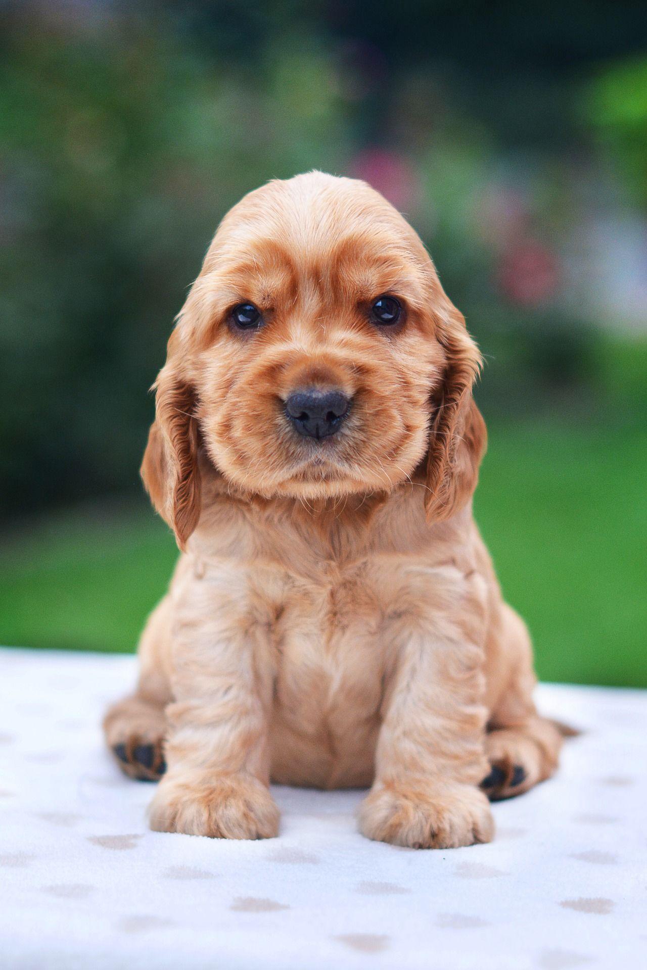 Порода собак - кокер спаниель