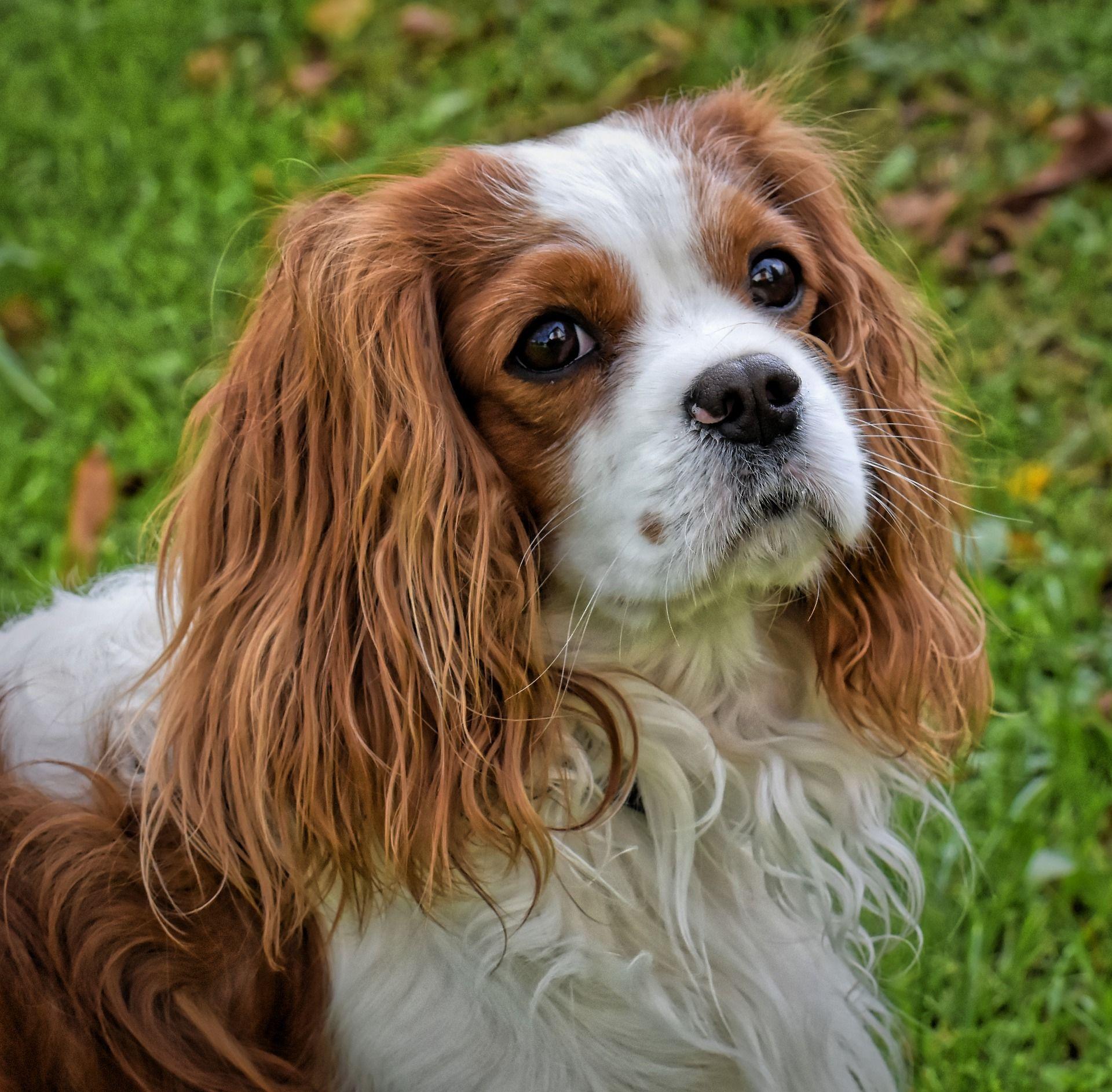 Смотреть фотографии красивой породы собак - спаниель