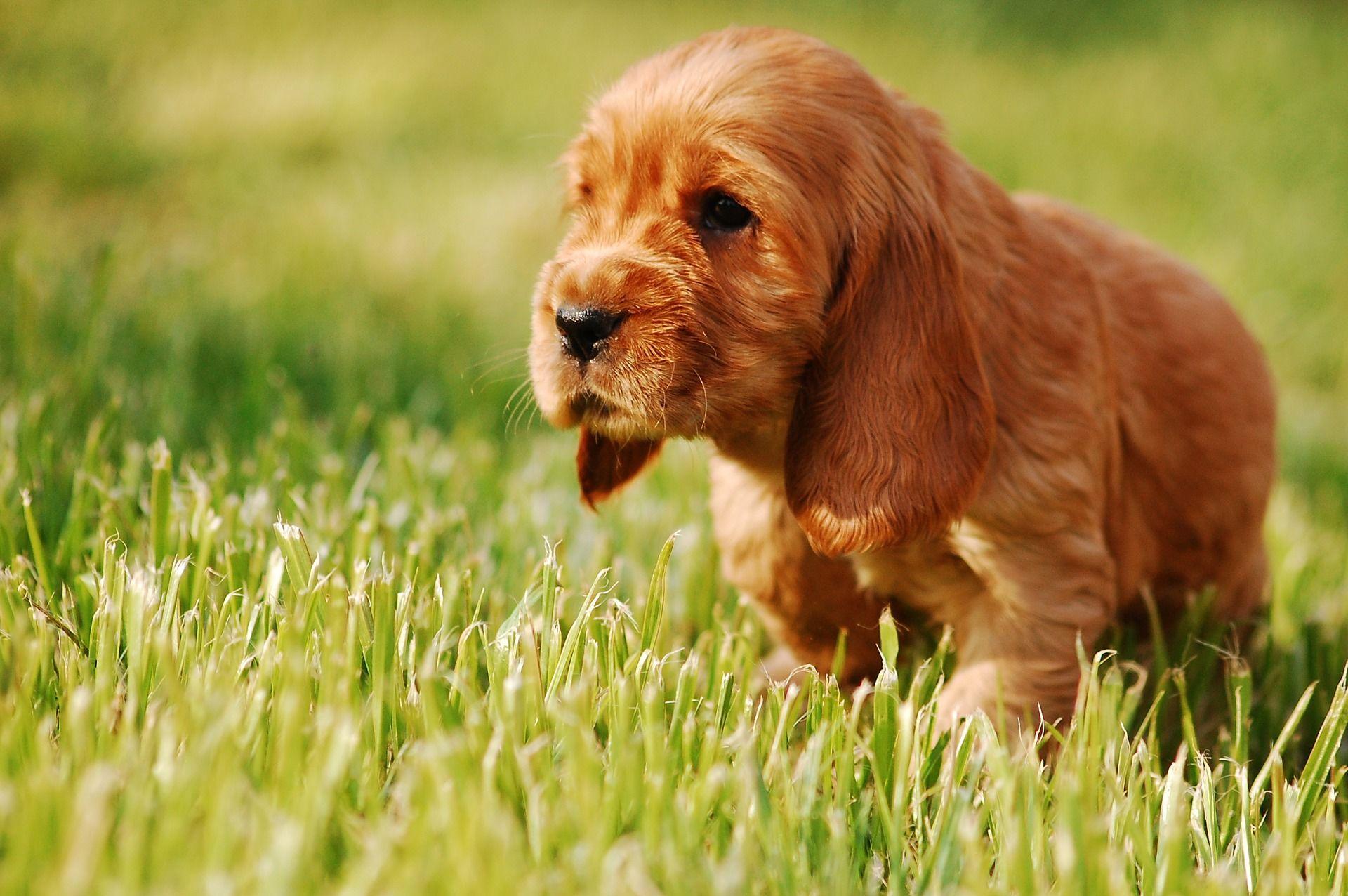 Фото щенков спаниеля