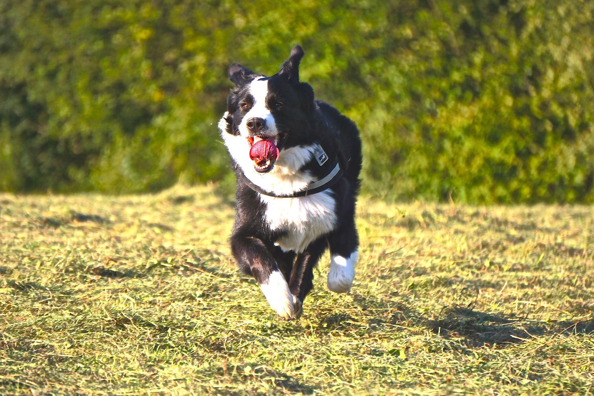Фото собак - бернский зенненхунд