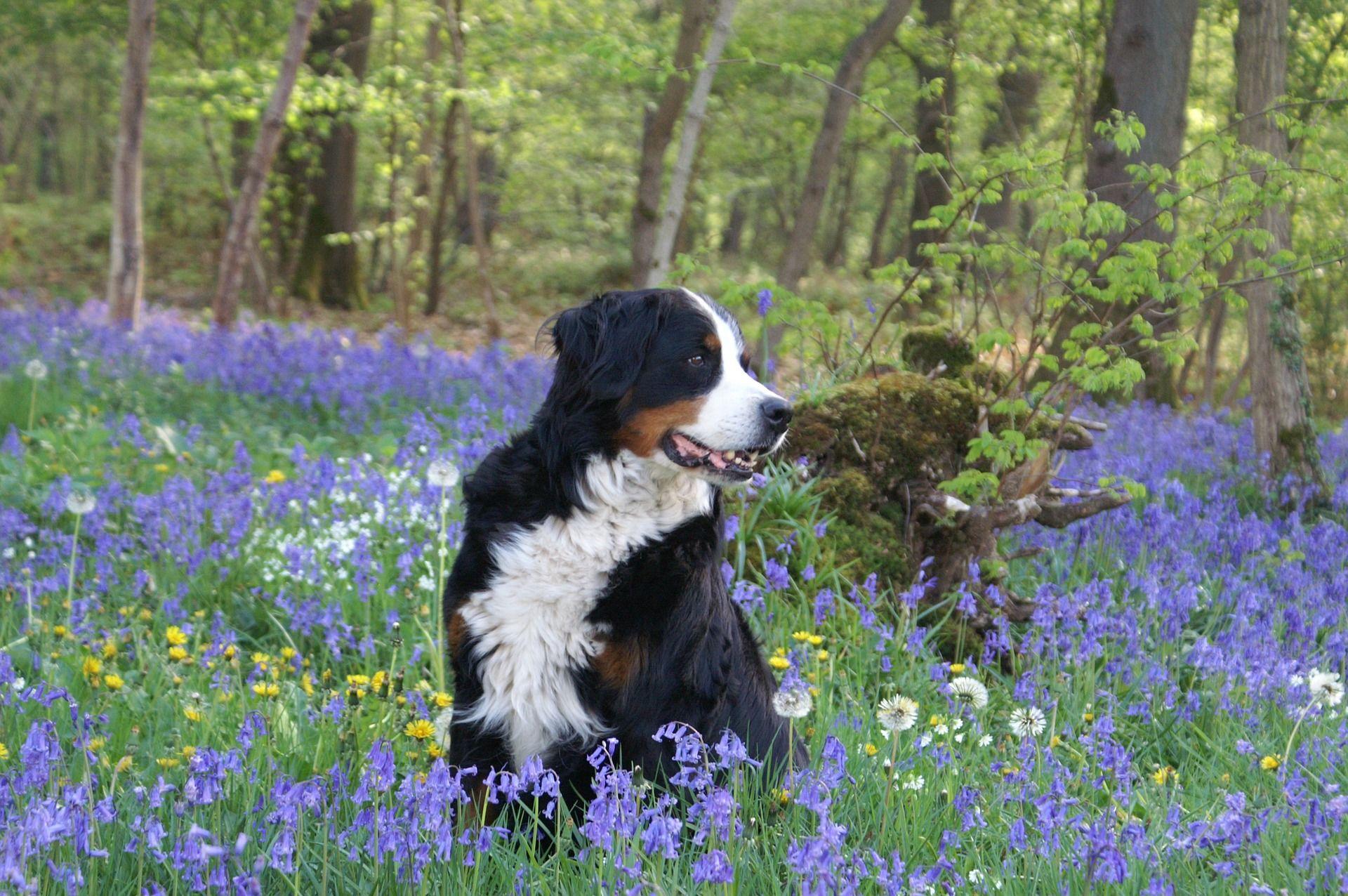 Порода собак - бернский зенненхунд