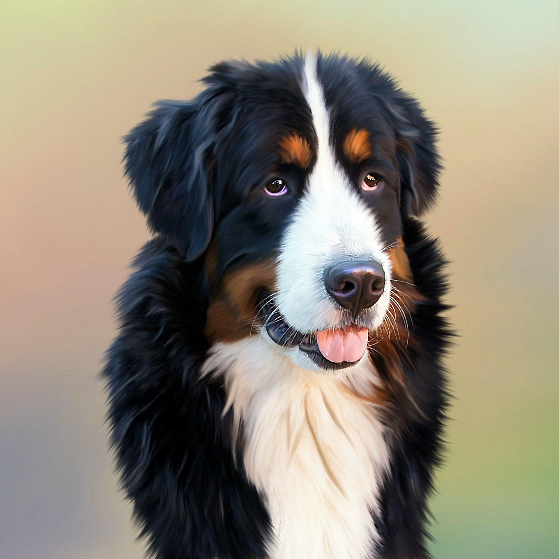 Бернский зенненхунд - смотреть фото породы собак