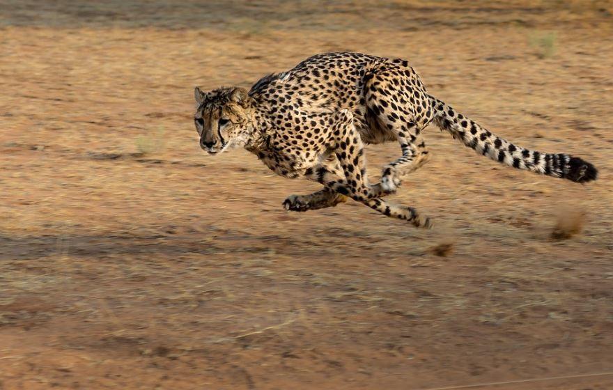 Самое быстрое животное Гепард, от него не убежать! Разгоняется до 120 Км/ч