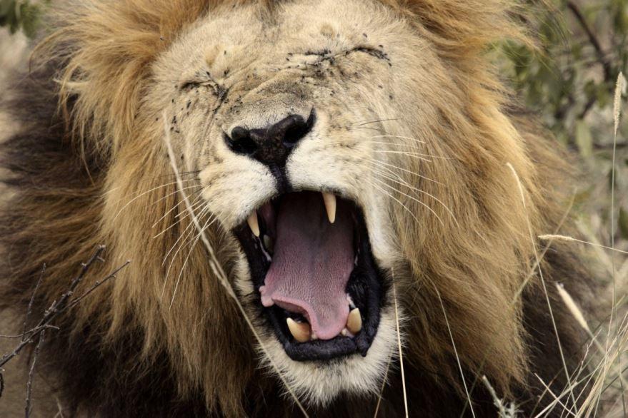 Красивое фото льва бесплатно