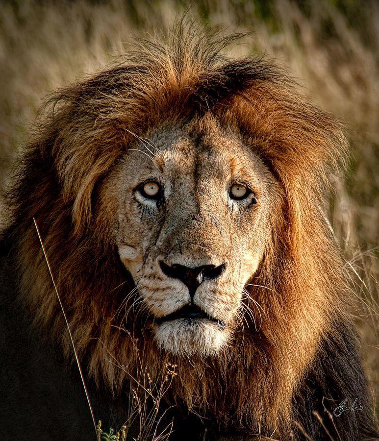 Скачать бесплатную картинку со львом