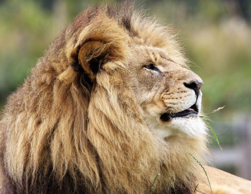 Бесплатные фото льва на телефон