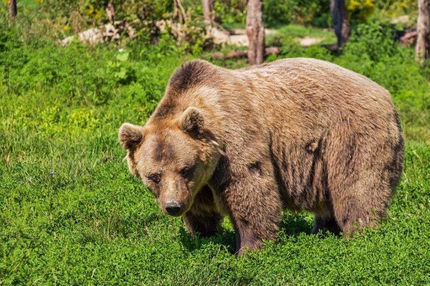 Скачать красивое фото бурого медведя