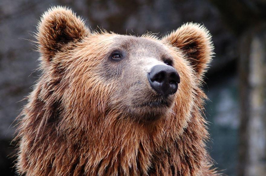 Картинка с бурым медведем бесплатно для скачивания