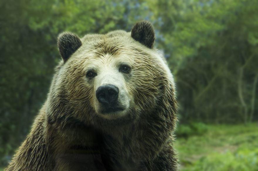 Картинка в хорошем разрешении с изображением бурого медведя