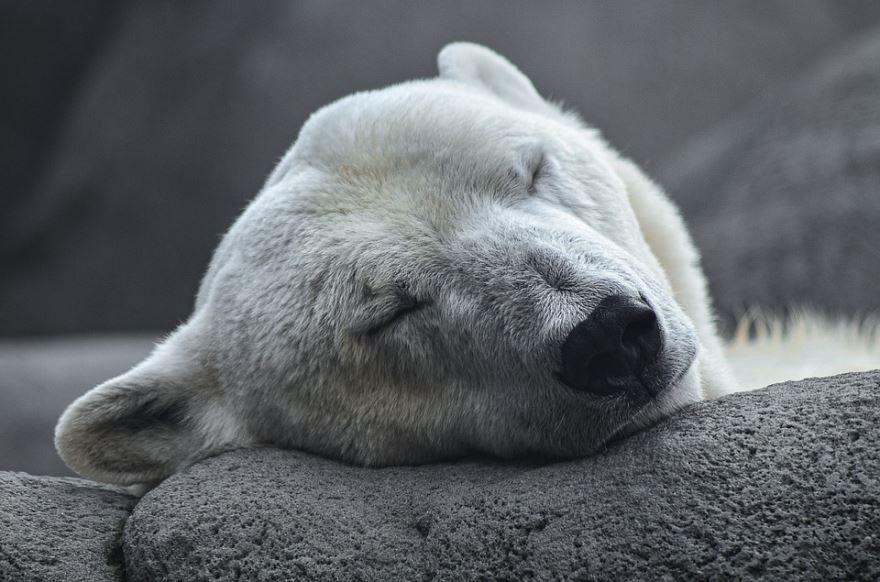 Скачать красивое фото белого медведя