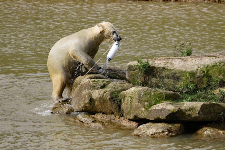 Красивые фото с большим белым медведем