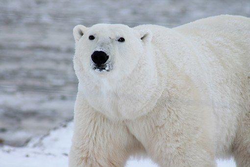Фото в хорошем качестве с белым медведем