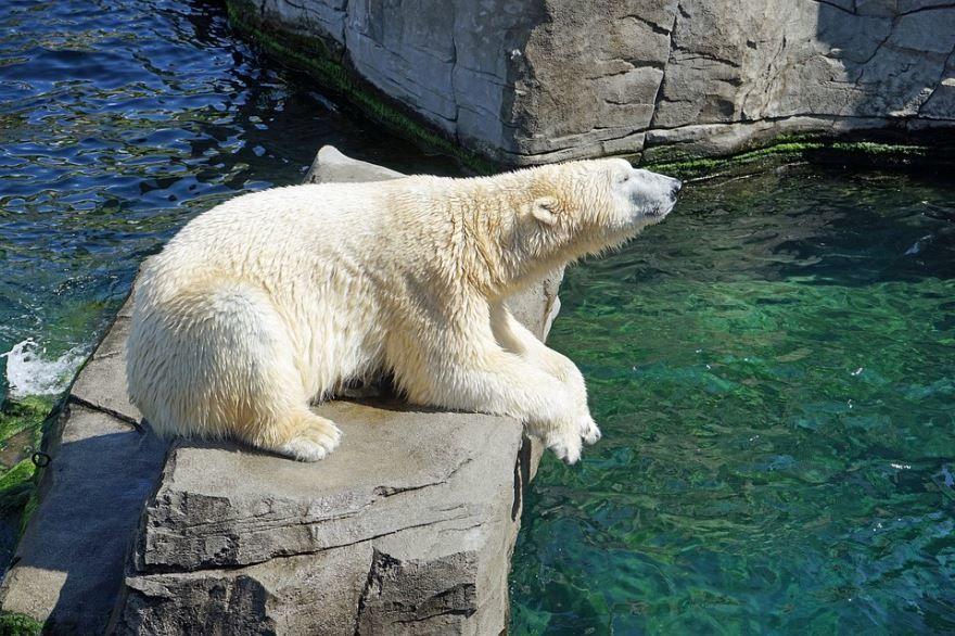 Скачать бесплатно фото белого медведя в хорошем качестве
