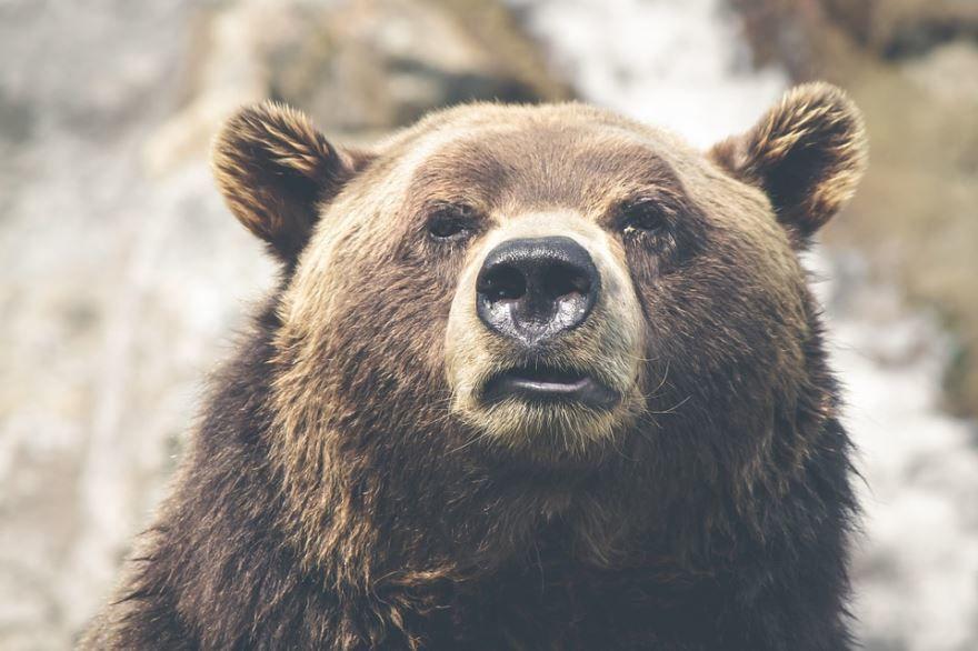 Самое большое хищное животное лесов России - медведь