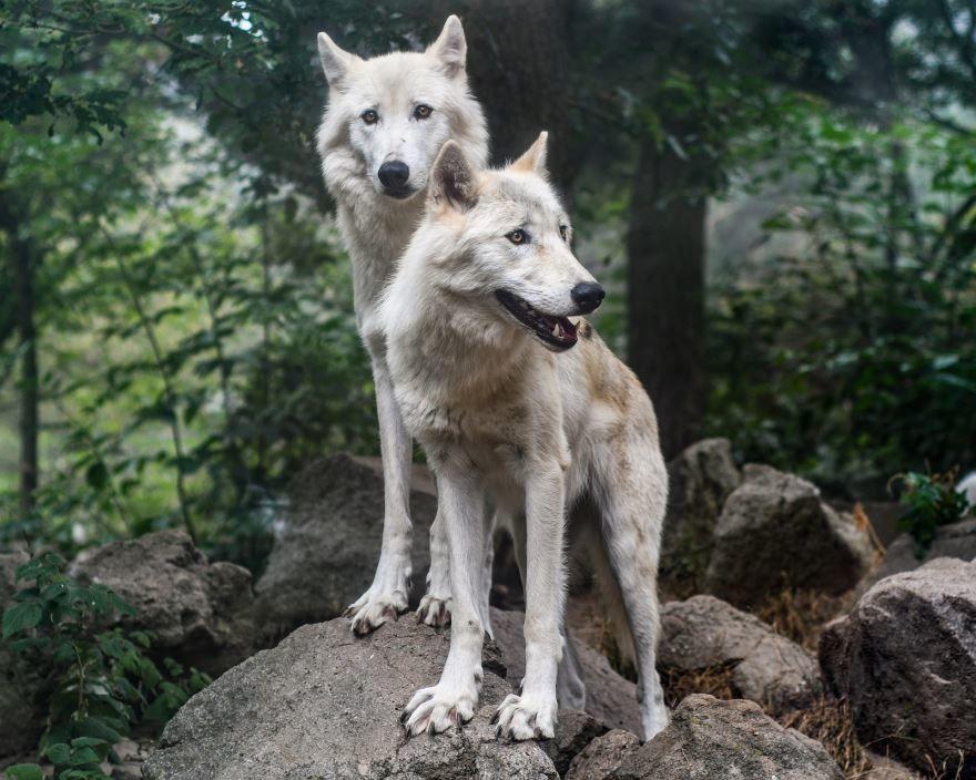 Лучшее фото волка бесплатно