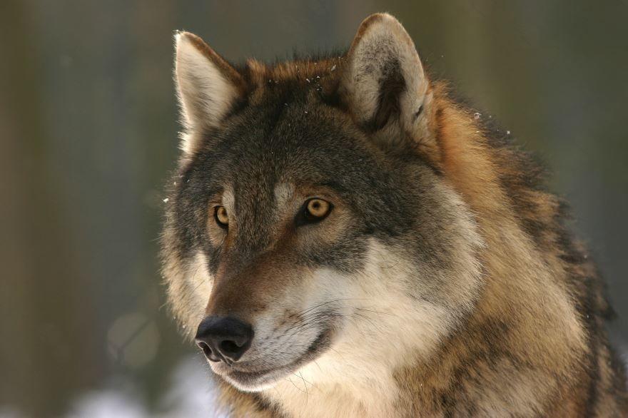 Фото серого волка, бесплатно для скачивания