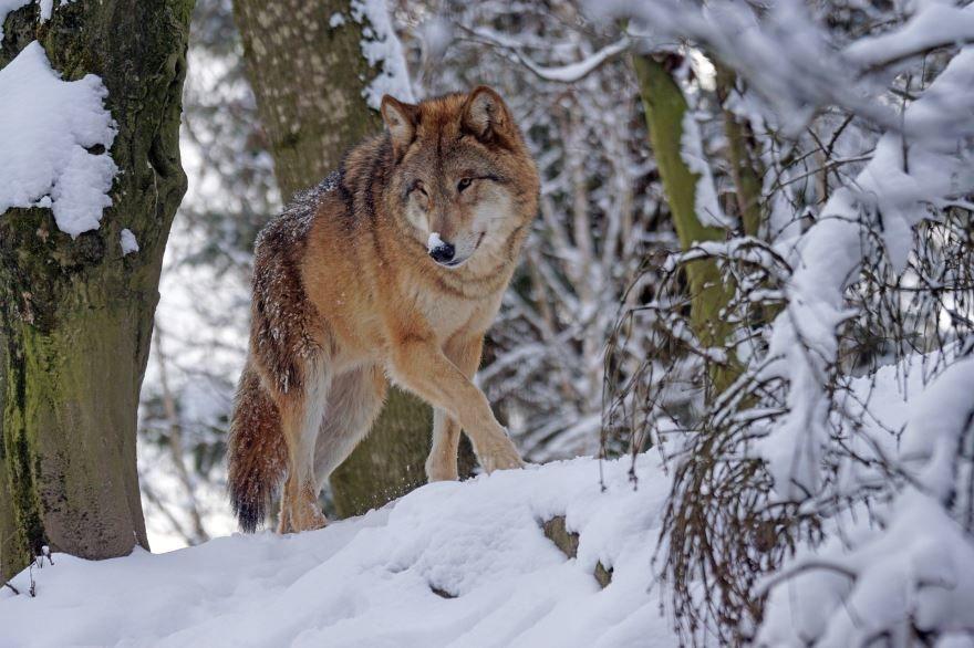 Фото волка в хорошем качестве, скачать онлайн