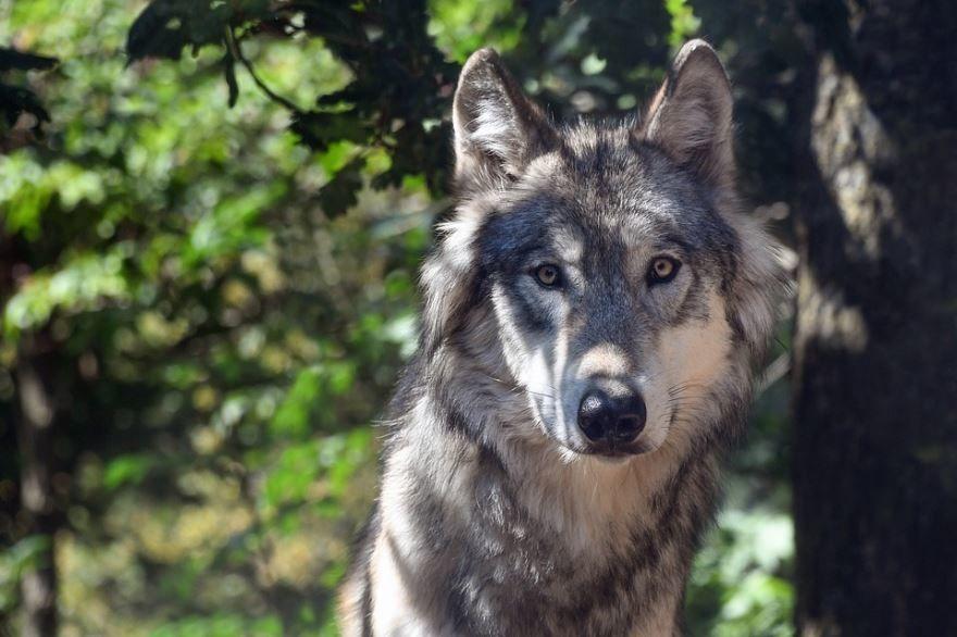 Смотреть красивую картинку белого волка на телефон онлайн