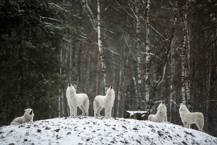 Смотреть красивую картинку белого волка на рабочий стол онлайн