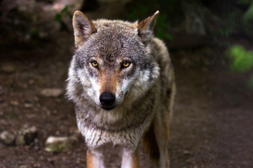Скачать красивую картинку черного волка в хорошем качестве
