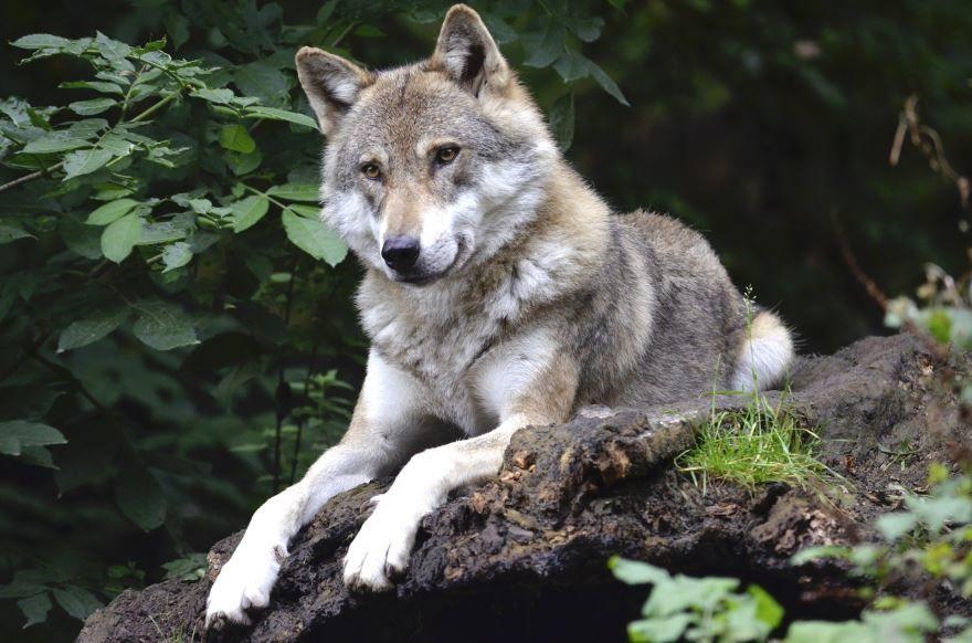 Скачать красивую картинку черного волка на телефон в хорошем качестве