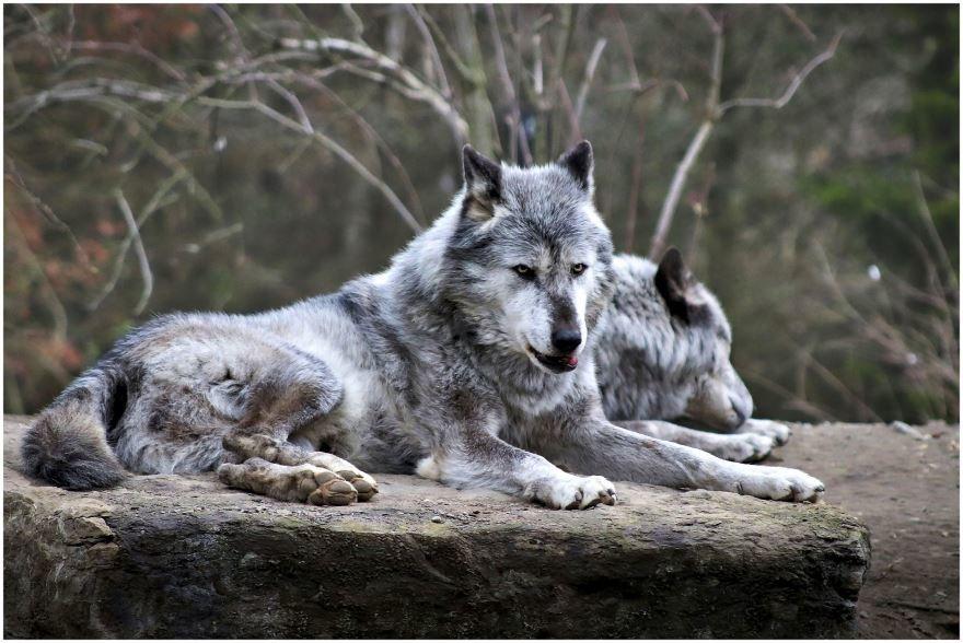 Скачать картинку с волками для срисовки онлайн