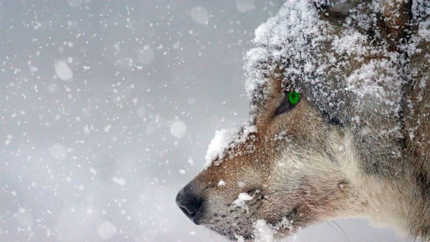 Бесплатно скачать картинку волка в хорошем качестве для детей