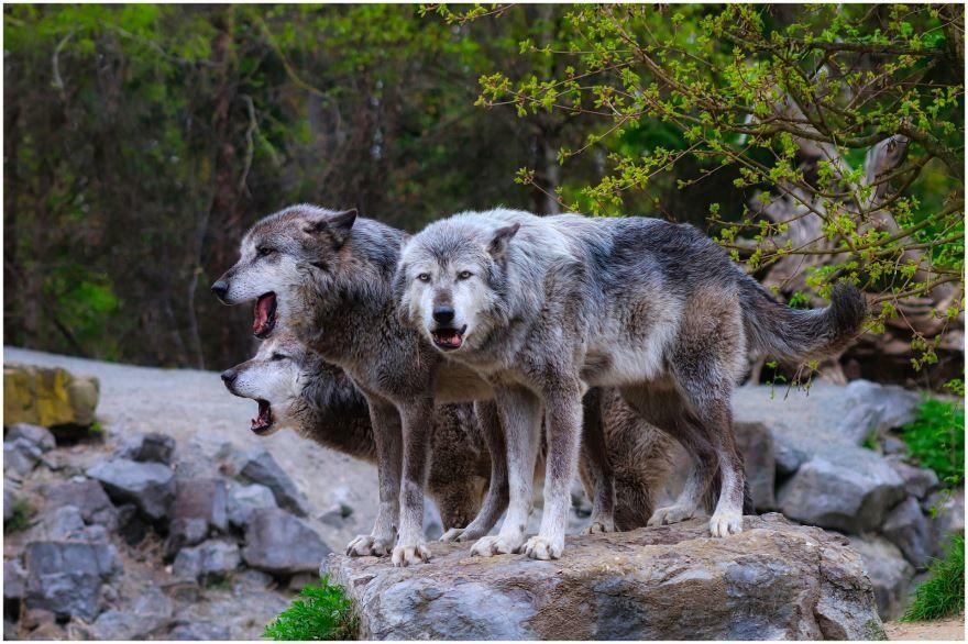 Смотреть онлайн фото серых злых волков
