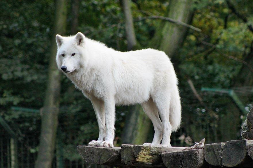 Смотреть онлайн фото серых волков, оскал волка