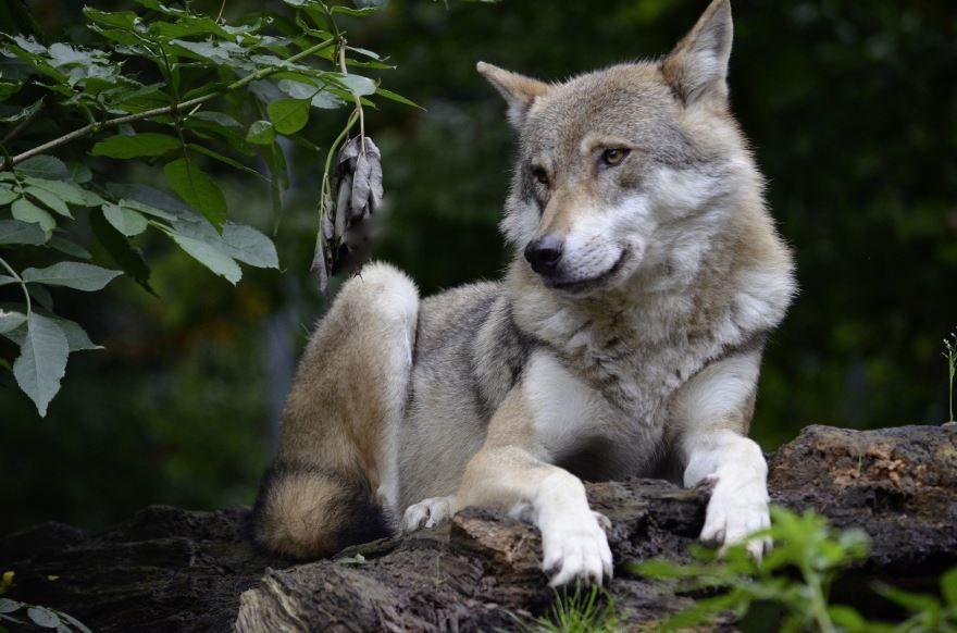 Фото серого волка для детей, бесплатно для скачивания