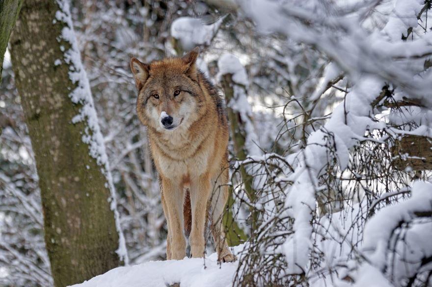 Лучшее фото волка на рабочий стол бесплатно