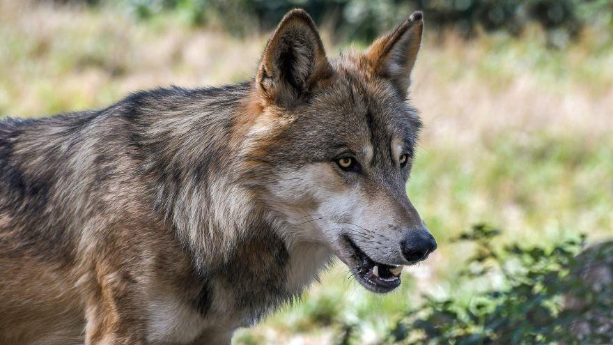 Фото серого волка на рабочий стол, бесплатно для скачивания