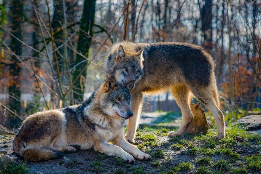 Смотреть онлайн фото серых волков