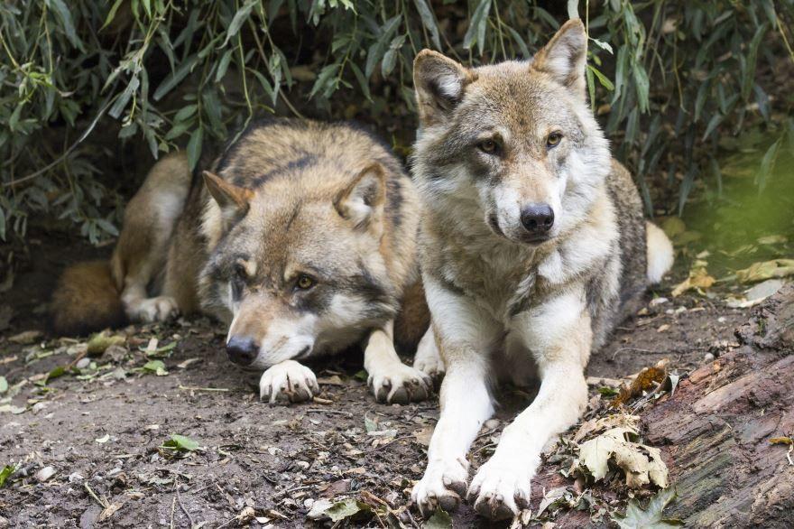 Бесплатно скачать фото волка в хорошем качестве
