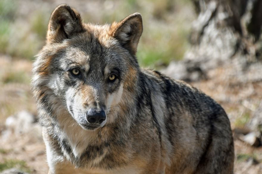 Скачать фото с волками онлайн