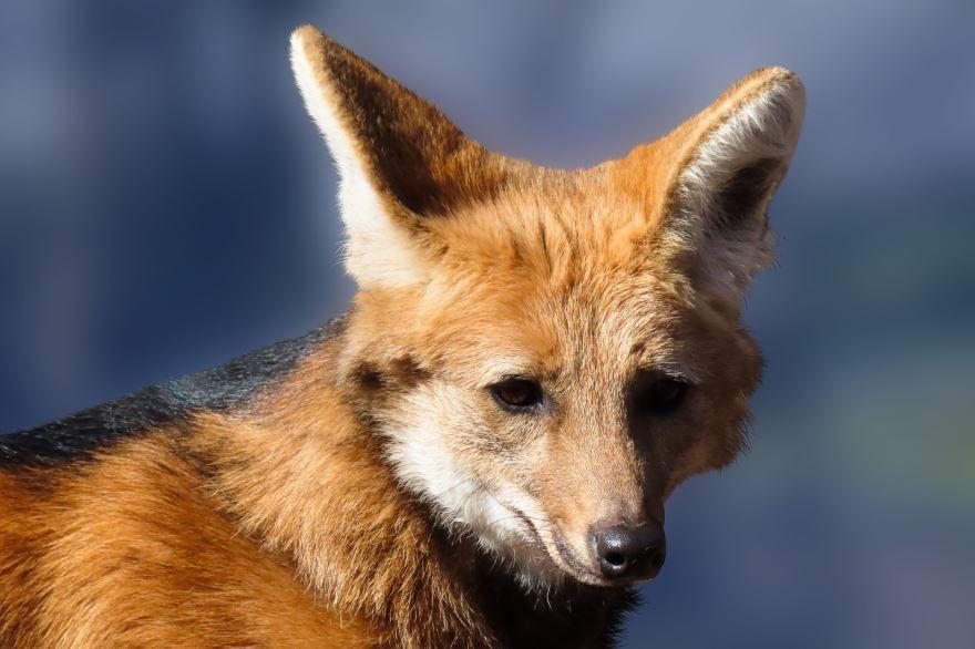 Скачать картинки русской и хитрой лисы