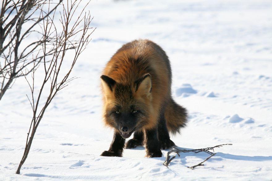 Скачать бесплатно красивые фото лисы