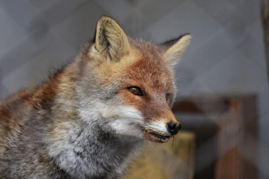 Скачать фото черной лисы