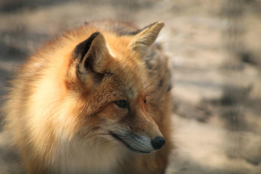 Скачать фото хитрой русской лисы как в мультфильмах