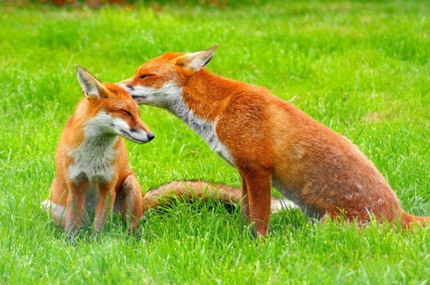 Скачать лучшие фото лисы в хорошем качестве онлайн